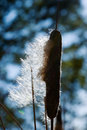 Cattail Stock Photography