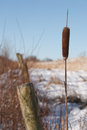 Cattail and fence single in winter with posts blue sky Royalty Free Stock Photo