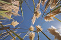 Cattail plants bloom with sun and flair Royalty Free Stock Photo