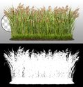 Cut out plant. Reed grass Royalty Free Stock Photo