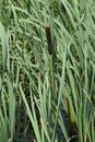 Cattails blowing in the sun creek side wind on a summers day Royalty Free Stock Photos