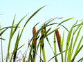 Cattails with clear sky Royalty Free Stock Photo
