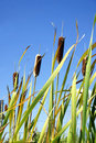 Cattails e vertical do céu Foto de Stock Royalty Free