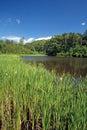 Cattails at edge of pond schenectady new york typha latifolia Stock Photos