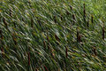 Cattails in grass brown standing windblown on a windy day Royalty Free Stock Photography