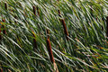 Cattails in Grass Royalty Free Stock Photo
