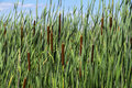 Cattails in a Marsh #2 Royalty Free Stock Photo