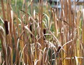 Cattails beside pond in late autumn Royalty Free Stock Photography