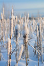 Cattails in the snow Stock Photos