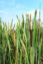 Cattails in a swamp against the blue sky Royalty Free Stock Image