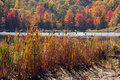 Cattails typha and fall colors at pond upstate ny in Royalty Free Stock Photography