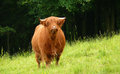 Cattle brown from scotish highlands Royalty Free Stock Photos