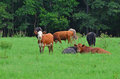 Cattle cows resting relaxing field are grazing and laying in the grassy on a hot summers day Royalty Free Stock Image