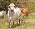 Cattle with cows steers bullock and bull Royalty Free Stock Photos