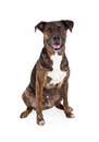 Cattle Dog Mixed Breed Sitting Royalty Free Stock Photo