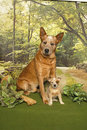 Cattle Dogs in the Woods Stock Photos