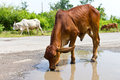 Cattle drinking water skinny brown separated out on pit road Stock Images
