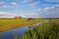 Cattle on dutch farmland pasture during sunny day Stock Images