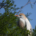 Cattle Egret Stock Photo
