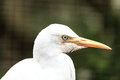 Cattle Egret Bird Royalty Free Stock Photo