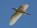 Cattle egret bird closeup of in flight with blue sky background Royalty Free Stock Image