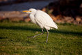 Cattle Egret (Bubulcus ibis) Royalty Free Stock Photo