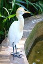 Cattle Egret (Bubulcus ibis) bird. Stock Image