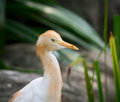 Cattle egret bubulcus ibis bird is a cosmopolitan species of heron family ardeidae Royalty Free Stock Photography