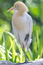 Cattle Egret (Bubulcus ibis) in bird park Royalty Free Stock Photo