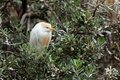 Cattle egret bubulcus ibis bird on tress south africa Stock Image