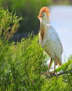 Cattle egret (Bubulcus ibis) in breeding plumage Stock Photos