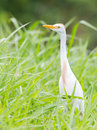 Cattle egret bubulcus ibis in the grass Stock Photos