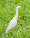 Cattle egret bubulcus ibis in the grass Royalty Free Stock Photo