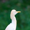 Cattle egret bubulcus ibis at the jurong bird park in singapore Royalty Free Stock Photos