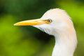 Cattle egret bubulcus ibis at the jurong bird park in singapore Royalty Free Stock Photo