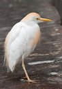 Cattle egret bubulcus ibis lat sitting on planked stained footway selective focus blurred background Stock Images