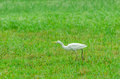 Cattle egret bubulcus ibis selective focus soft focus and shallow depth of fields dof Royalty Free Stock Photography