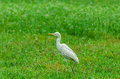 Cattle egret bubulcus ibis selective focus soft focus and shallow depth of fields dof Royalty Free Stock Image
