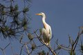 Cattle egret bubulcus ibis on the trees Stock Photo