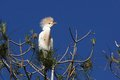 Cattle egret bubulcus ibis on the trees Stock Photography