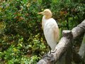 The cattle egret bulbulcus ibis in yellow summer plumage Royalty Free Stock Photography