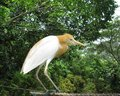 The cattle egret bulbulcus ibis in yellow summer plumage Royalty Free Stock Photos