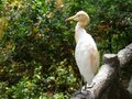 The cattle egret bulbulcus ibis in yellow summer plumage Stock Photography