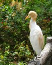 Cattle egret the bulbulcus ibis in the yellow summer plumage Royalty Free Stock Image