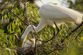 Cattle Egret with chicks Royalty Free Stock Images