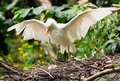 Cattle egret with eggs Royalty Free Stock Photo