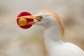 Cattle egret head bubulcus ibis lat with a soother in its beak Royalty Free Stock Photo
