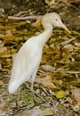 A cattle egret looking for prey Royalty Free Stock Photo