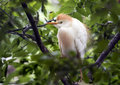 Cattle egret perched in a tree, closeup Royalty Free Stock Photo