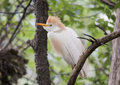 Cattle egret perched in a tree Royalty Free Stock Photo